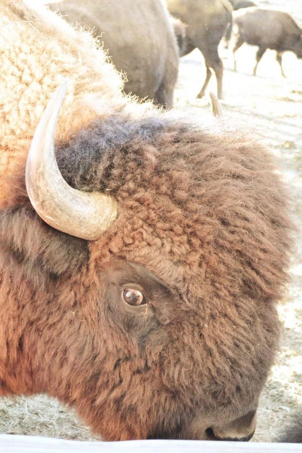 bison wyoming