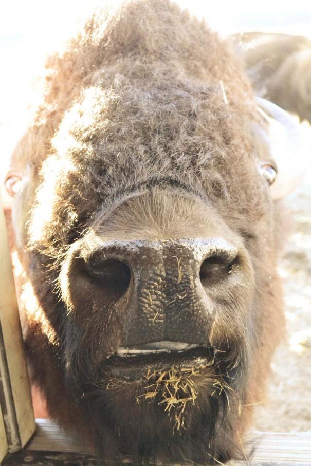 bisonface