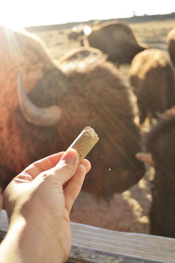 feeding buffalo wyoming