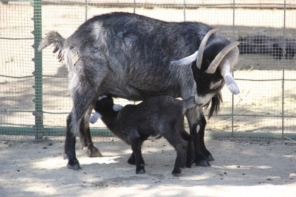 underwood farms baby goat