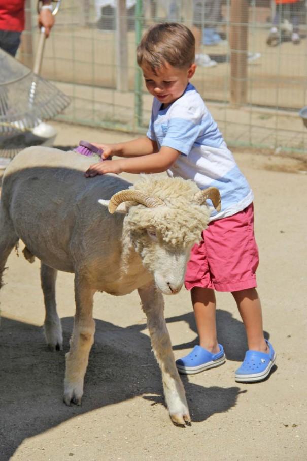 underwood farms sheep